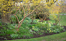 Hellebores and snowdrops planted in a bed with Cornus officinalis - Japanese cornelian cherry.