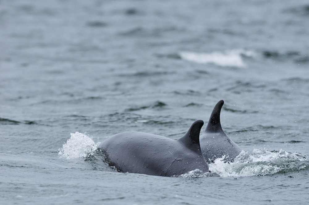 Two adult Bottle-nosed Dolphins  travelling,<br /> Tursiops truncatus,<br /> Moray Firth, Nr Inverness, Scotland - April