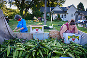 27 JULY 2020 - CARLISLE, IOWA: People pack gleaned sweet corn on the Butcher Creek Farm in Carlisle. Volunteers from Eat Greater DSM gleaned sweet corn in the fields on the farm. The corn was packaged and will be distributed to Des Moines emergency pantries, community centers, and churches in Des Moines this week. Gleaning is the act of collecting leftover crops from farmers' fields after they have been commercially harvested or gathering crops from fields where it is not economically profitable to harvest. It is an ancient tradition first described in the Hebrew Bible. A spokesperson for Eat Greater DSM said food assistance need has skyrocketed this year. In a normal year, they distribute about 300,000 pounds of food. Since the start of the COVID-19 pandemic in March, they've distributed more than 500,000 pounds of food.           PHOTO BY JACK KURTZ