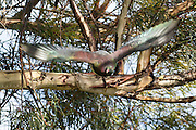 A NZ Wood Pigeon in flight, Stewart Island