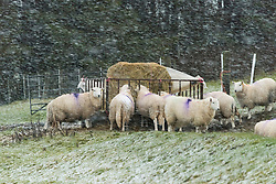 © Licensed to London News Pictures. 05/12/2020. Llanfihangel Nant Melan, Powys, Wales, UK. Sheep brave the wintry conditions near Llanfihangel Nant Melan in Powys, UK. Photo credit: Graham M. Lawrence/LNP