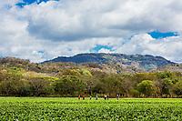 Tobacco fields  in pueblo nuevo near San Juan de Limay Madriz in Nicaragua