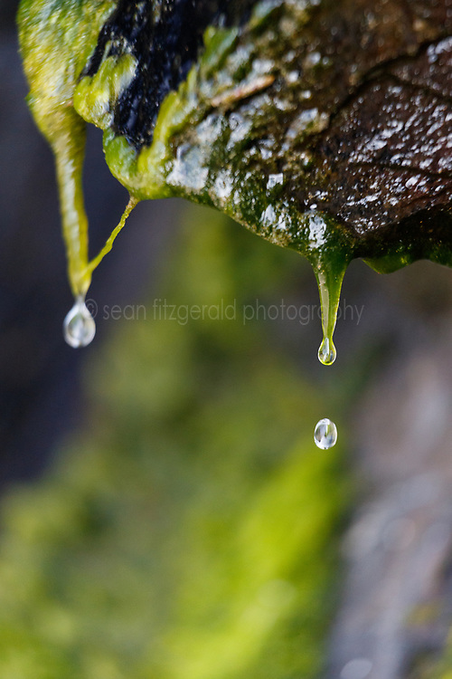 Water dripping off of moss-covered rocks at low tide, Hug Point State Recreation Area, Oregon, USA