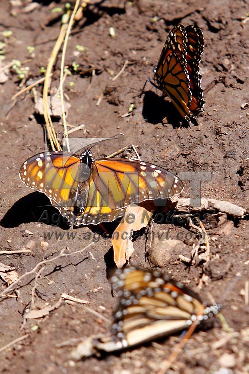 VALLE DE BRAVO, México.- Algunos automovilistas que circulan por la carretera Toluca-Valle de Bravo detienen su trayecto para poder observar de cerca la mariposa monarca que comienza su llegada al santuario de Piedra Herrada. Agencia MVT / Crisanta Espinosa. (DIGITAL)