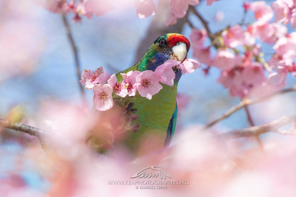 The Mallee ringneck (Barnardius zonarius barnardi), a subspecies of the Australian Ringneck parrot, showcasing its brilliant plumage.