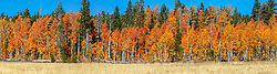 """""""Paige Meadows in Autumn 2"""" - Panoramic fall photograph of the colorful Aspen trees at Paige Meadows, near Tahoe City, California."""