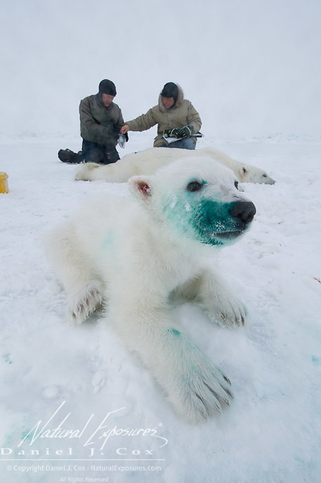 A polar bear cub begins to wake from the  immobilizing drug, green die from a tattoo stains his muzzle. Dr Steven Amstrup and Susie Miller collect data from it's mother in the background.
