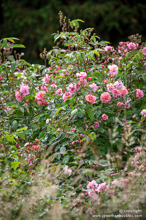Rosa 'Cornelia' AGM growing in the meadow at Easton Walled garden
