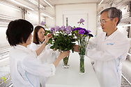"May 21, 2018, Seika, Japan: This is Yoshikazu Tanaka, Ph.D., Senior General Manager of the Suntory World Research Center with his researchers Noriko Nakamura Ph. D.(long haired woman), and Naoka Okitsu (short haired woman). They in their lab with their latest efforts to produce blue roses and carnations. Tanaka, who for the past 28 years has been experimenting with this biotechnology at Suntory has come very close, but has not yet succeeded in producing a truly blue rose. Sought after by botanists and horticulturists since the nineteenth century, the blue rose is so elusive as roses lack genes that can produce blue pigment. To change this, Tanaka and his team isolated blue genes from petunias and introduced them into roses that produce a blue pigment called delphinidin. Achieving results in 2004, Suntory was granted government approval to begin marketing their genetically modified roses, and in 2009 began selling their first blue rose called ""Applause"". Tanaka however still feels challenged and is trying to produce a deep blue rose not only through genetics, but also with the aid of metal ions and compounds that enhance blue pigments called flavones. He is also experimenting with higher ph levels which also help to increase blue pigments. Tanaka and Suntory have also succeeded in producing blue carnations which adapt better to gene modification. In 1997 they began marking their blue ""Moonseries"" carnations and have since introduced other varieties using pansy genes. Currently these blue carnations are grown in Columbia and Ecuador and sold primarily in the USA and Europe. Due to Suntory holding early patents to this technology, they face no competition in the manufacturing of blue roses and carnations. The international floral market is a multi-billion dollar industry and if Suntory succeeds at producing a perfectly blue rose the market potential would be astounding. Photo by Torin Boyd."