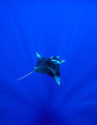 reef manta ray or coastal manta, Manta alfredi, Kona Coast, Big Island, Hawaii, USA, Pacific Ocean