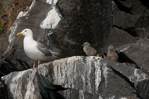 Herring Gull rookery, Elu Inlet, Nunavut, Canada
