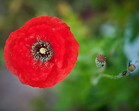 Red, Oriental, and Icelandic Poppies. Image taken with a Nikon D850 camera and 105 mm f/2.8 VR macro lens