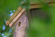 Blue-tit chick peeping out of nest-box