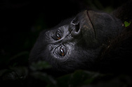 Mountain Gorilla conveys deep existential thoughts through her piercing eyes in Bwindi Impenetrable National Park, Uganda.