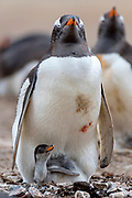 Gentoo penguin (Pygoscelis papua) with it's off-spring at Saunders Island, the Falklands.