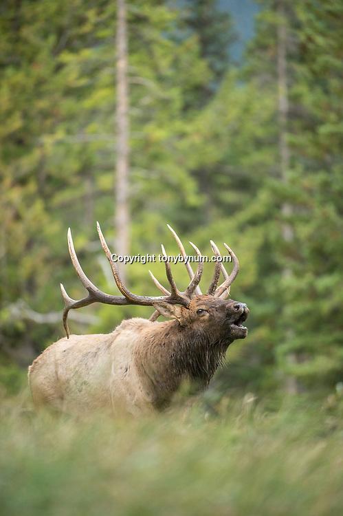 mature bull elk bugling in grass