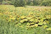 Petasites hybridus, butterbur, herbaceous perennial flowering plant growing in wet field Shottisham, Suffolk, England, UK