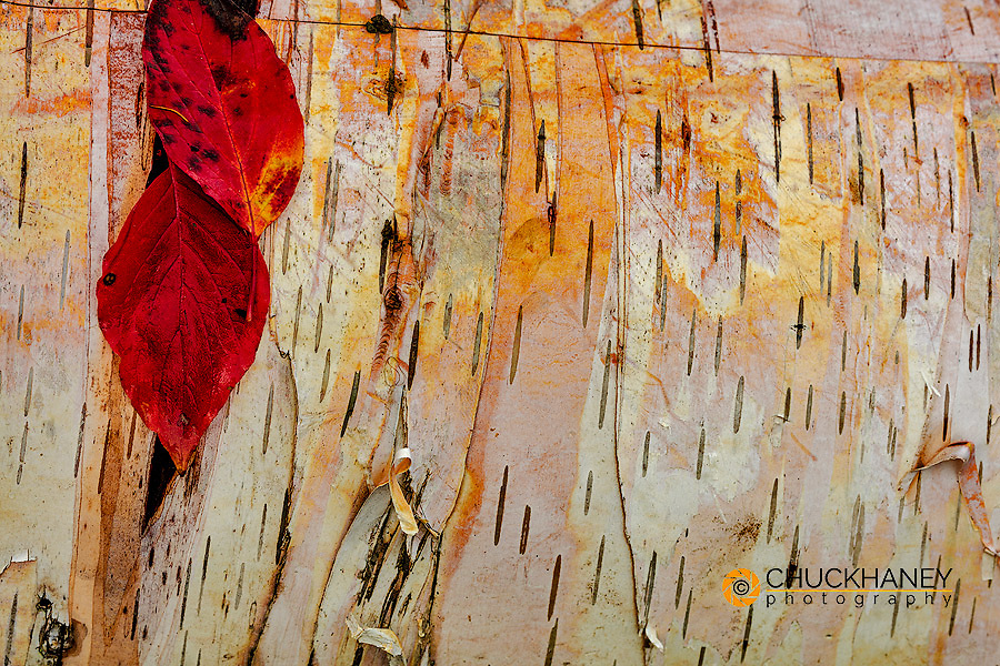 Red osier dogwood leaves on birch bark in the Flathead National Forest, Montana, USA