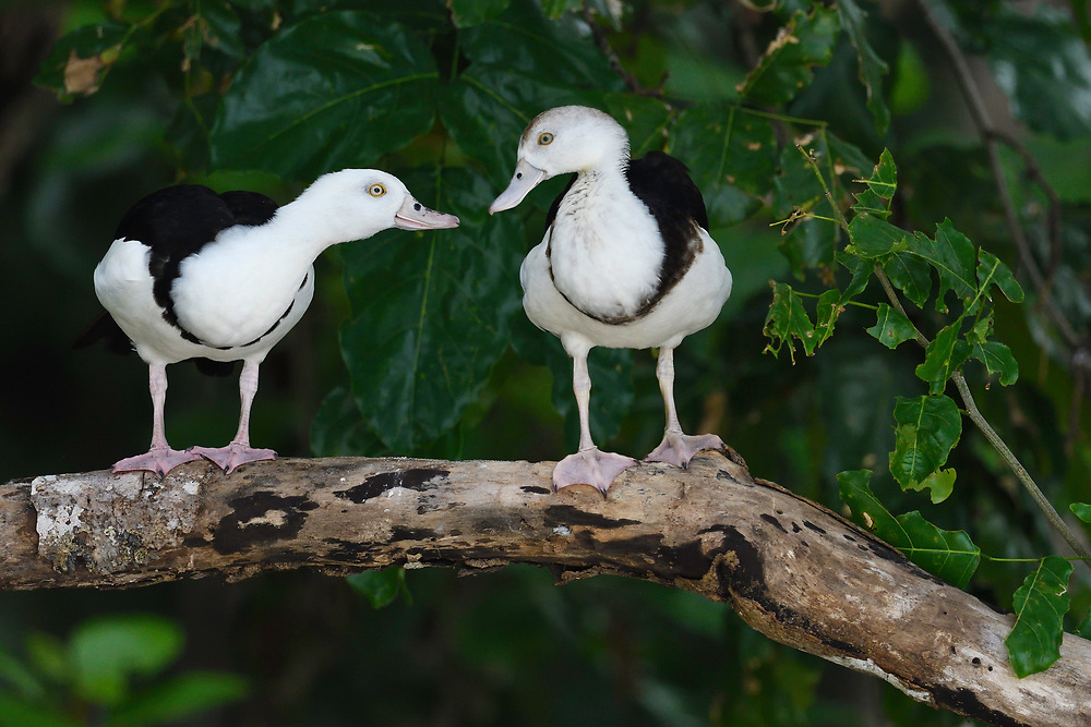 """Raja Shelduck, Tadorna rajah, Raja Ampat, Western Papua, Indonesian controlled New Guinea, on then Science et Images """"Expedition Papua, in the footsteps of Wallace"""", by Iris Foundation"""