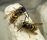 Close-up of a pair of common wasps (Vespula vulgaris) resing on an egg box in a Norfolk garden in summer