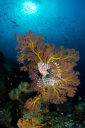 A Common Lionfish, Pterois volitans, hunts baitfish while hovering near a fan coral. Eastern Fields, Coral Sea, Pacific Ocean