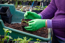 Potting on seedlings in a greenhouse using gardening gloves
