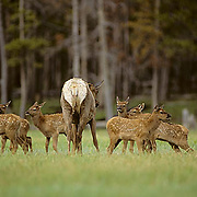 Elk, (Cervus elaphus) cow approaches group of calves, sniffing them to determine her own. Spring.