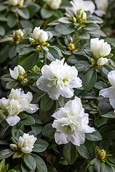 White Azalea - Rhododendron simsii 'White'