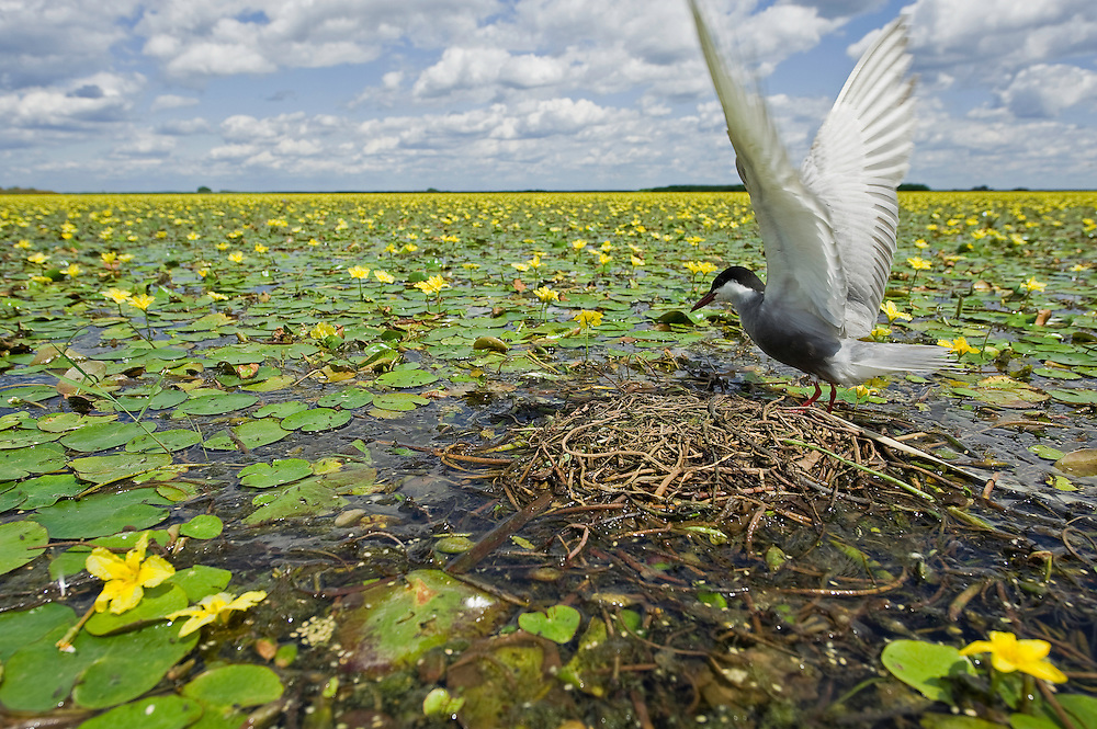 Whiskered Tern (Chlidonias hybridus) with its nest on water covered with yellow floating heart (Nymphoides peltata) in Hortobagy National Park, Hungary