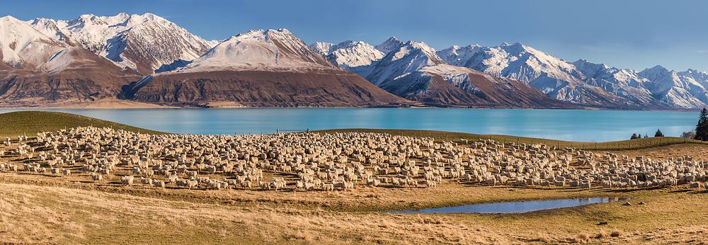 Perendale sheep, Braemar high country sheep station, Ben Ohau Range above Lake Pukaki, Mackenzie country, canterbury