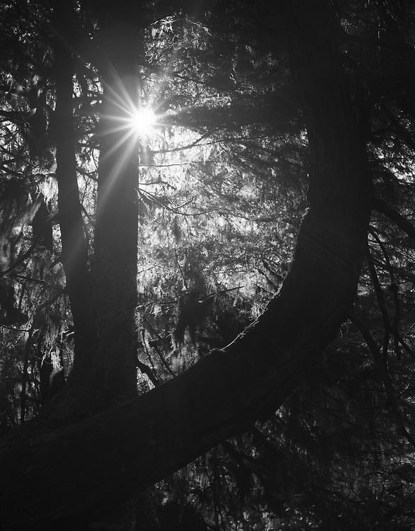 The Crooked Tree, Tofino BC