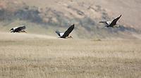 Black-faced ibis, Theristicus melanopis. Antisana Ecological Reserve, Ecuador