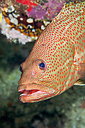 A member of the grouper and cod family, the many-lined rock cod is a predatory fish that maintain a well established territory on the reef.  They have large eyes to see their prey (small fish) and can swim at exceptionally fast speeds to catch them