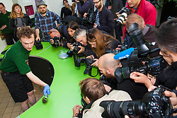 ZSL London, August 21st 2014.  Photographers crowd round while reptile keeper Chris Michaels weighs a mossy frog as ZSL London holds its annual animal weigh and measure day to update their databases.