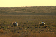 Sage grouse males in mating display on a lek during spring at the American Prairie Reserve south of Malta in Phillips County, Montana.