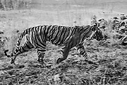 Wild Bengal tiger motion-blur in black and white, Ranthambore National Park, Rajasthan, India