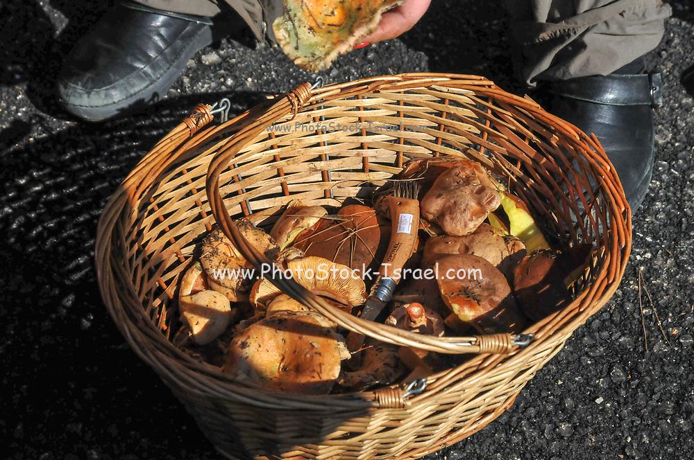 Freshly picked Edible Small Mushrooms in Wicker Basket