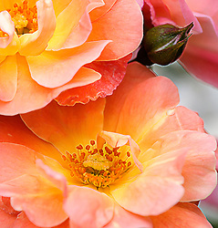 Peach Rose Blooms From The Garden - The recent storms have really destroyed most of my roses, but I still have a few peach rose blooms left