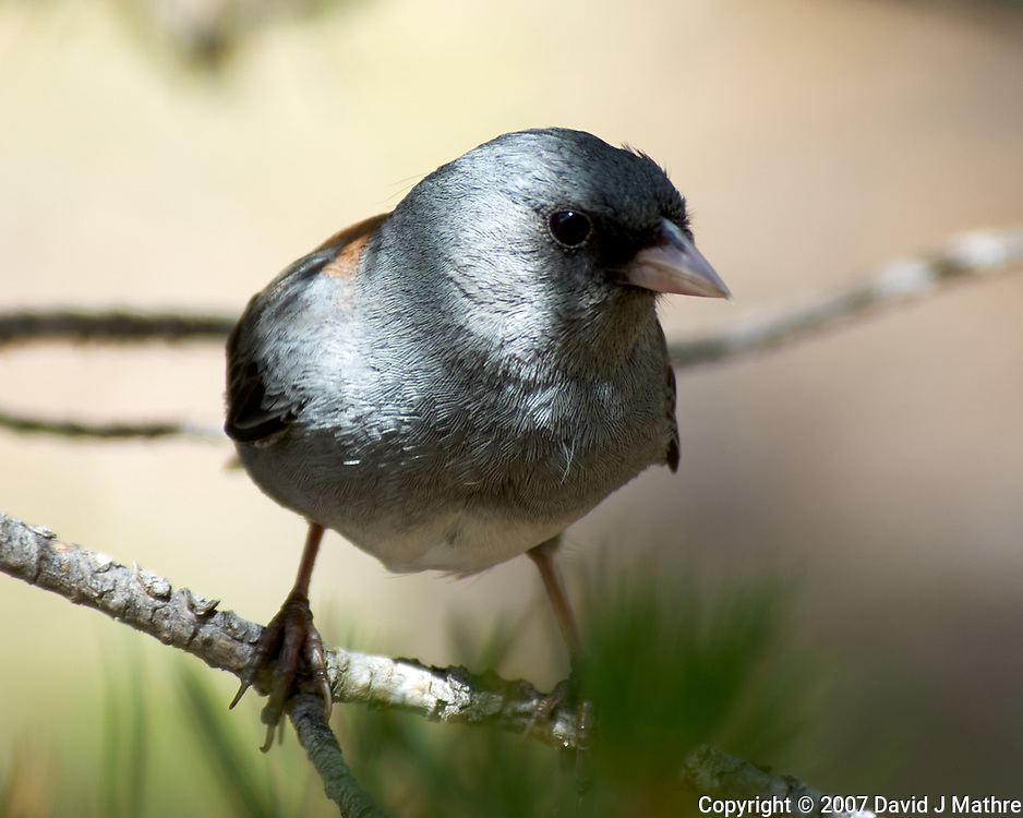 Dark-eyed Junco (Red-backed, Junco hyemalis). Moraine Park. Rocky Mountain National Park, Colorado.Image taken with a Nikon D2xs camera and 80-400 mm VR lens.