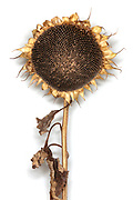golden ripe sunflower head with seeds and dried leaves against a white background