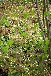 Epimedium × versicolor 'Sulphureum' AGM growing amongst hazelnuts in the Nuttery at Sissinghurst Castle Garden