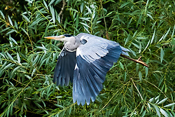 A Grey Heron (Ardea cinerea) of the  bird family: Herons, storks and ibises, flys from Daking Brook Cannon Hall Park and Gardens Barnsley South Yorkshire<br /> <br /> 22 August 2020<br /> <br /> www.pauldaviddrabble.co.uk<br /> All Images Copyright Paul David Drabble - <br /> All rights Reserved - <br /> Moral Rights Asserted -