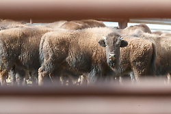 Bison viewed through bars of pen during bison roundup, Ladder Ranch, west of Truth or Consequences, New Mexico, USA.