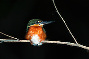American Pygmy Kingfisher (Chloroceryle aenea)<br /> Rainforest<br /> Rewa River<br /> GUYANA. South America