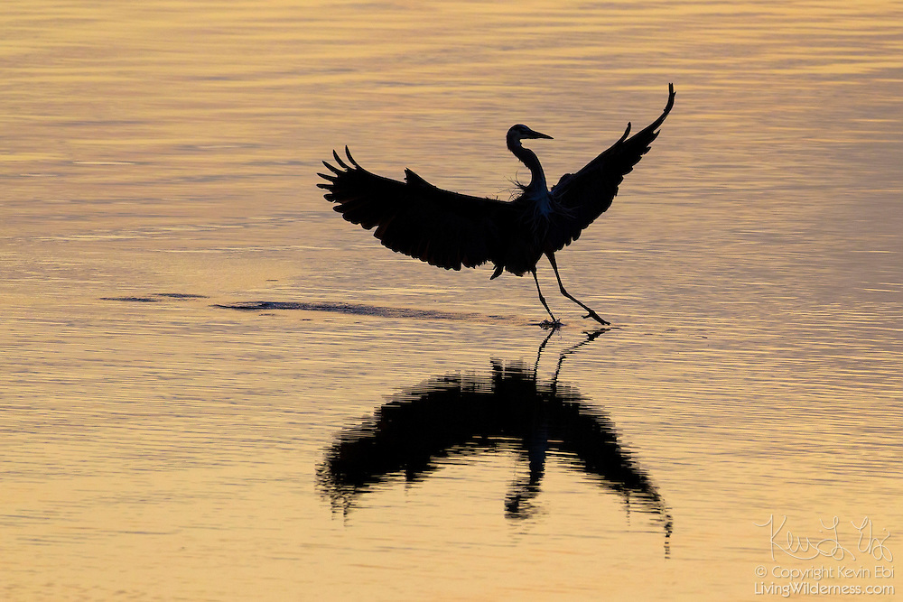 A great blue heron (Ardea herodias), shown in silhouette, lands on Hood Canal near Seabeck, Washington, during a golden sunrise. Numerous great blue herons flock to the bay near Big Beef Creek at low tide to feed on fish trapped in oyster beds.