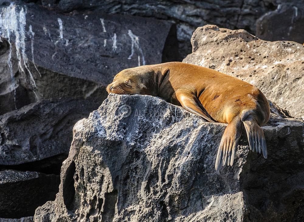 Galapagos sea lion (Zalophus wollebaecki) from Genovesa, Galapagos.