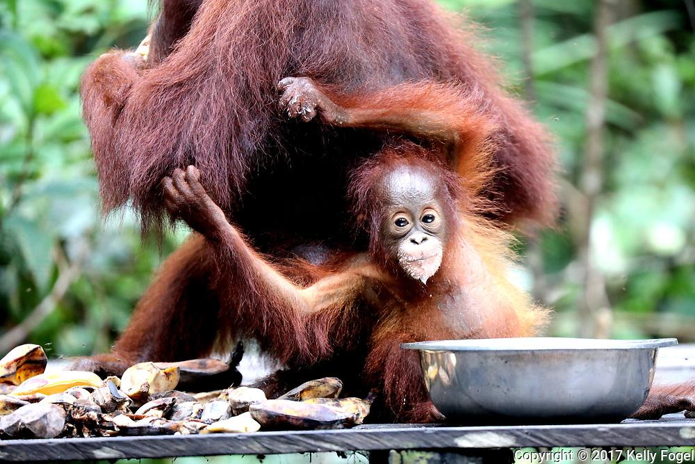 Wild & Ex-Captive Orangutans<br /> Borneo, Indonesia<br /> Camp Leakey<br /> (founded by Dr. Birute Galdikas in 1971)