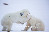 01874-13503 Polar Bears (Ursus maritimus) sparring, Churchill Wildlife Management Area, Churchill, MB