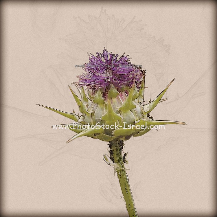 Digitally enhanced image Silybum eburneum Milk Thistle Photographed in Israel, Galilee