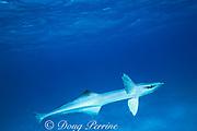 sharksucker or remora, Echeneis naucrates, West End, Grand Bahama Island, Bahamas ( Western Atlantic Ocean )